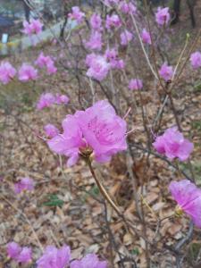 화원동산봄소식(진달래)